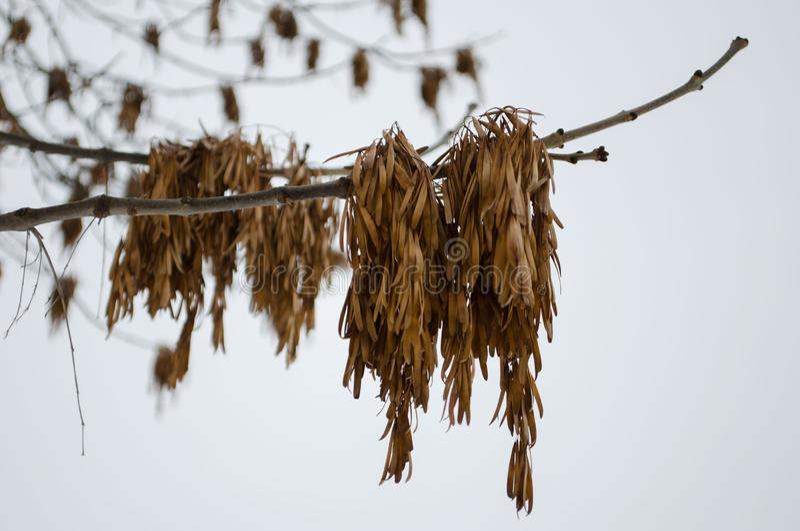 灰在一个分支的种子荚反对天空 库存图片