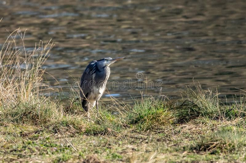 灰色苍鹭在低级冬天阳光下的支持河岸 库存照片
