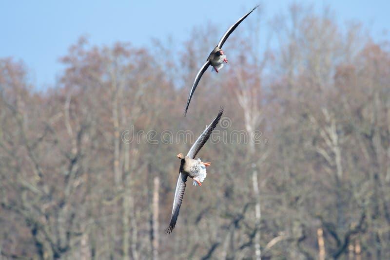 灰雁在春天 图库摄影
