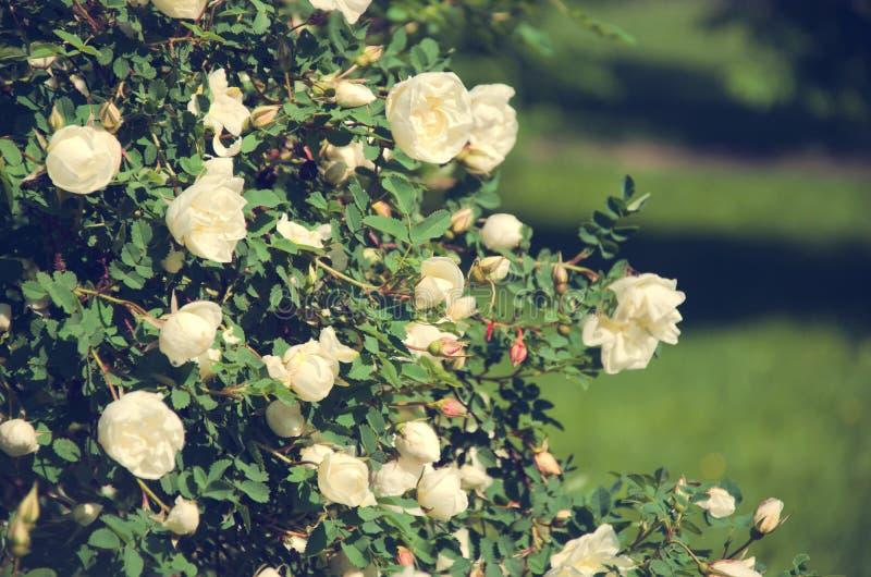 灌木上升了白色公园 库存图片