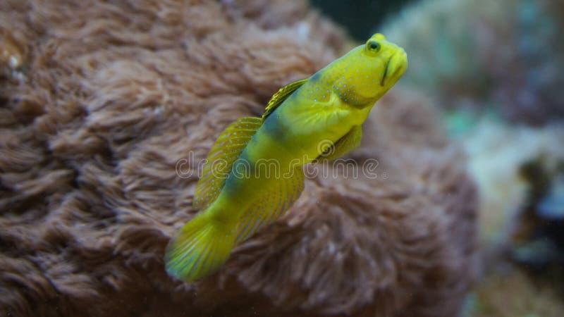 珊瑚礁在银莲花属珊瑚前面的鱼游泳 免版税库存照片