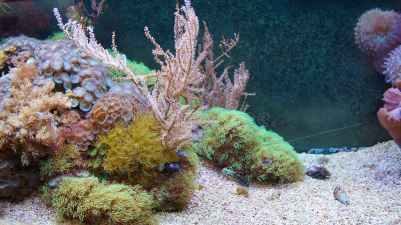 珊瑚礁在银莲花属珊瑚前面的鱼游泳 库存照片
