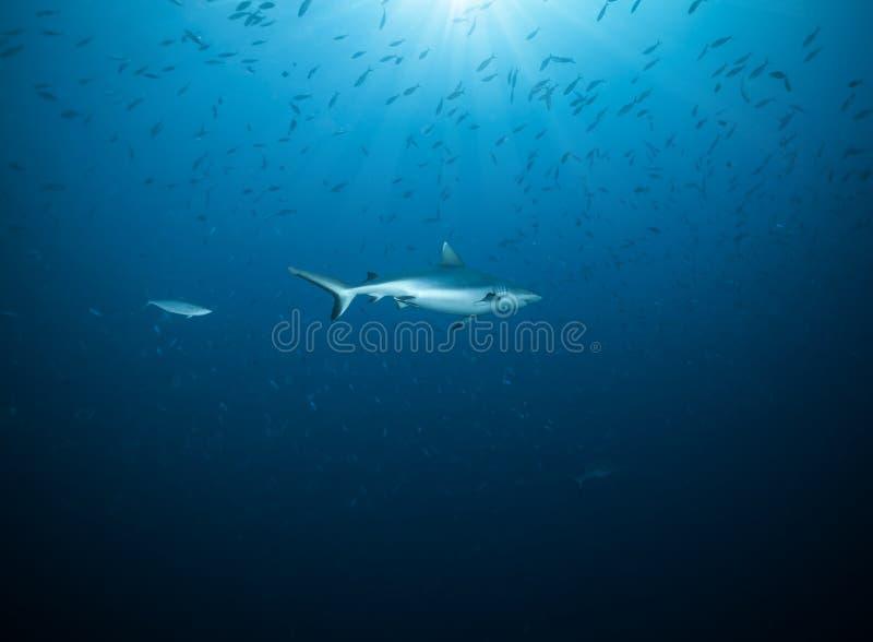 礁石鲨鱼,马尔代夫atols,印度洋 免版税库存图片