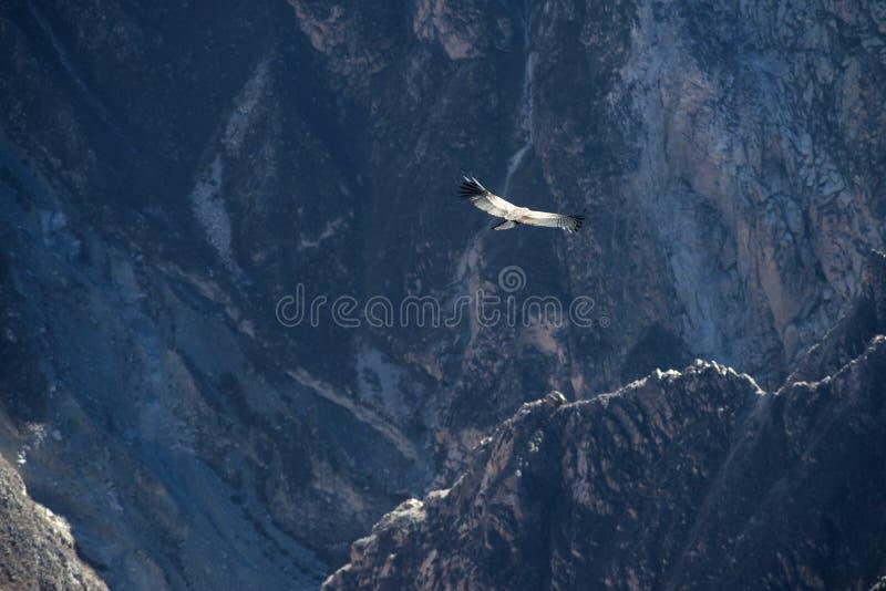 神鹰飞行在秘鲁 免版税库存照片