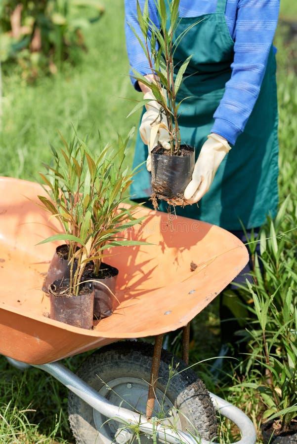 种植竹子的庭院工作者 免版税库存照片