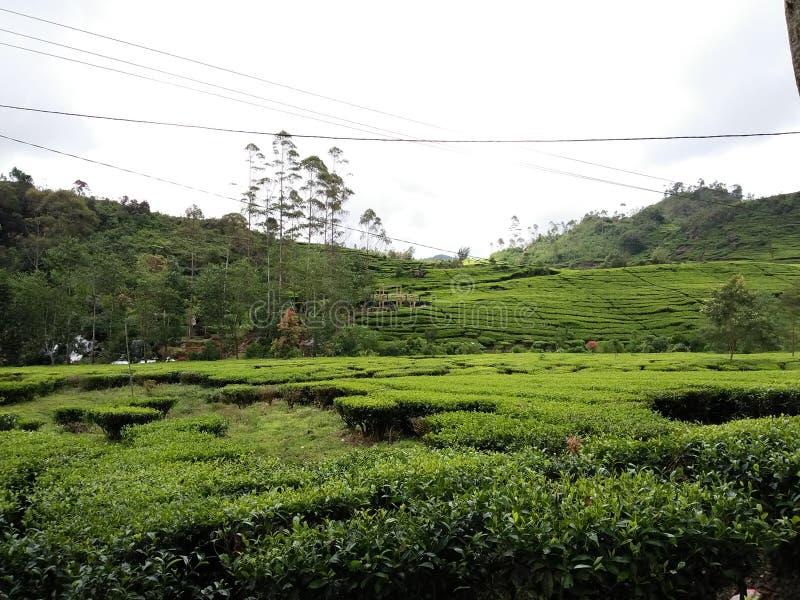 种田在山的茶 免版税库存图片