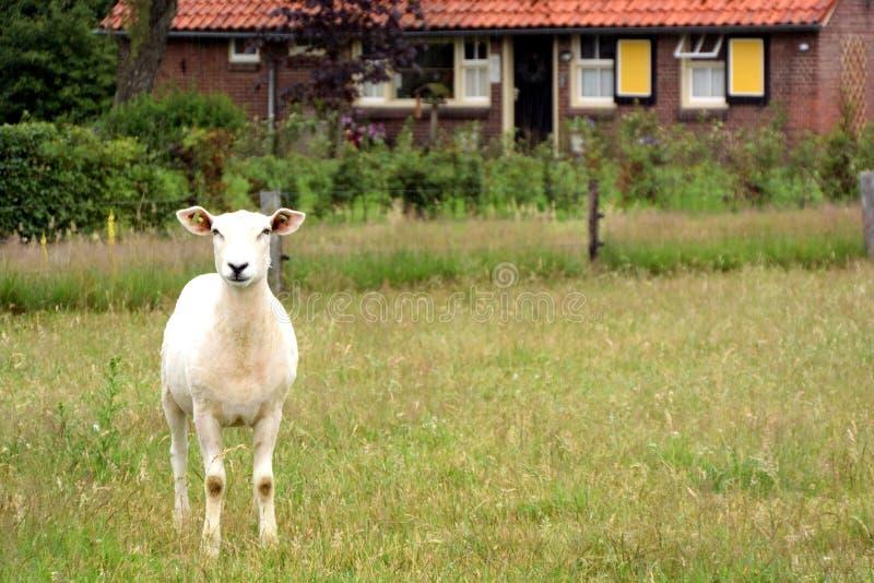 站立在草甸的一只被剪的幼小绵羊 图库摄影