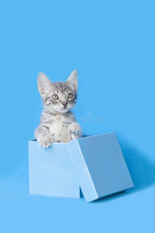 站立灰色平纹的小猫挺直在一个蓝色礼物生日箱子,蓝色背景 免版税图库摄影