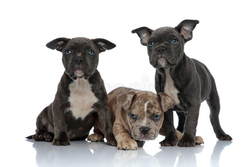 站立3条美国恶霸的狗一起放置和 库存照片