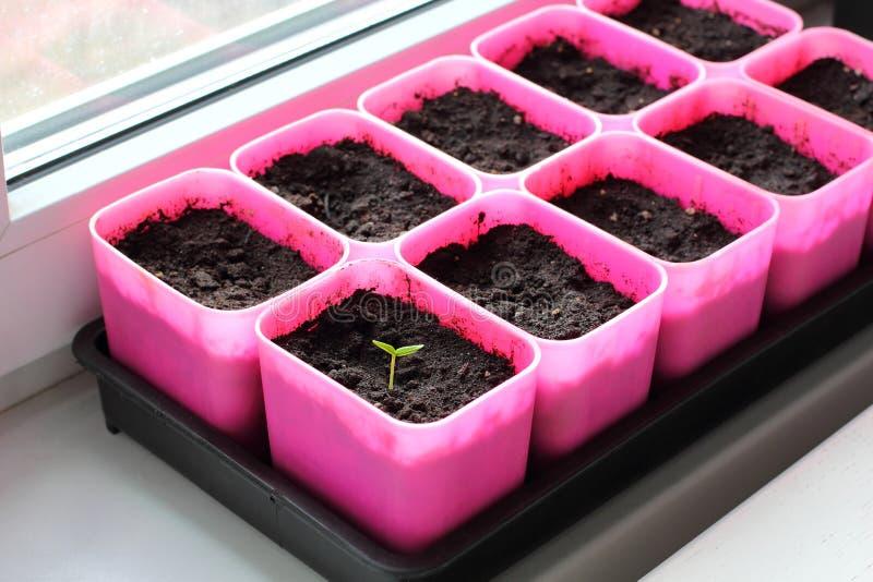 第一新鲜的胡椒幼木 免版税库存照片