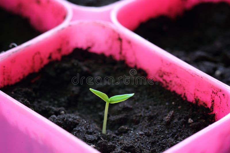 第一新鲜的胡椒幼木 库存图片