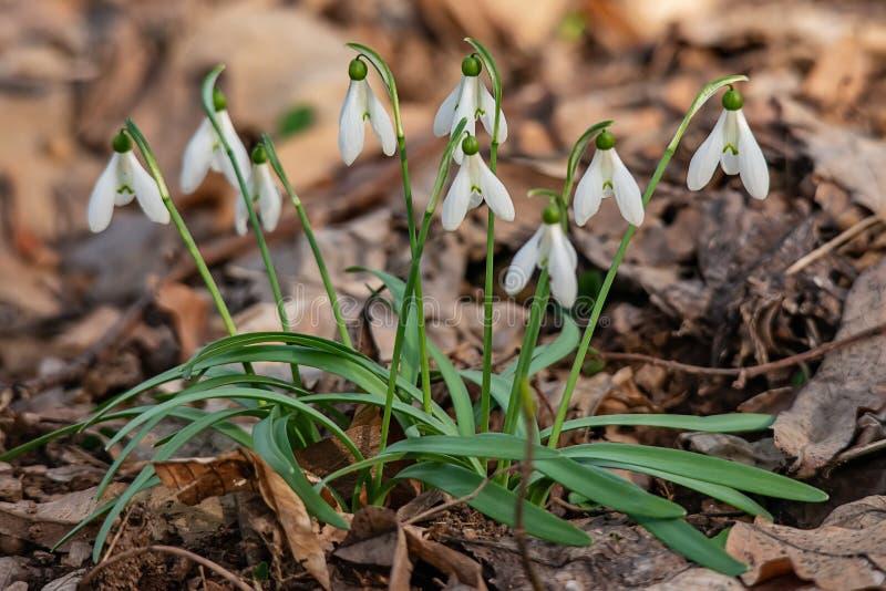 第一snowdrops在森林里在春天 免版税库存图片