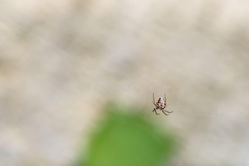 等待在它的净蜘蛛的蜘蛛 库存照片