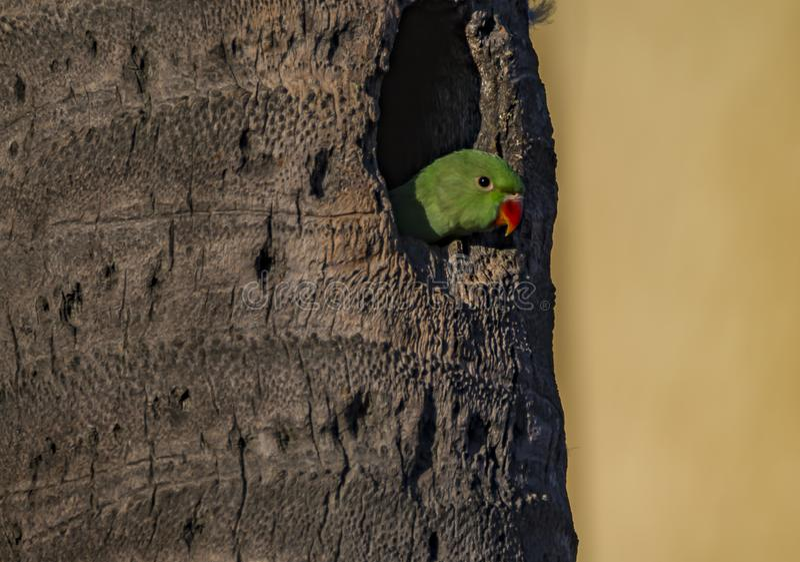 等待:Psittacula krameri或罗斯圈状的长尾小鹦鹉青少年 免版税库存照片