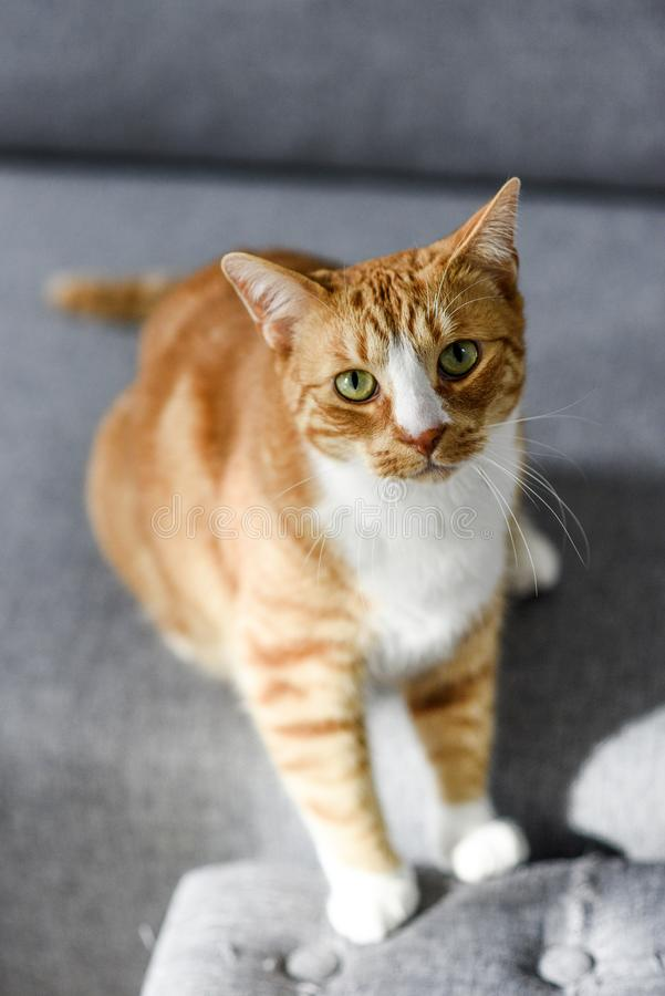 红发猫画象与嫉妒的在家 免版税图库摄影