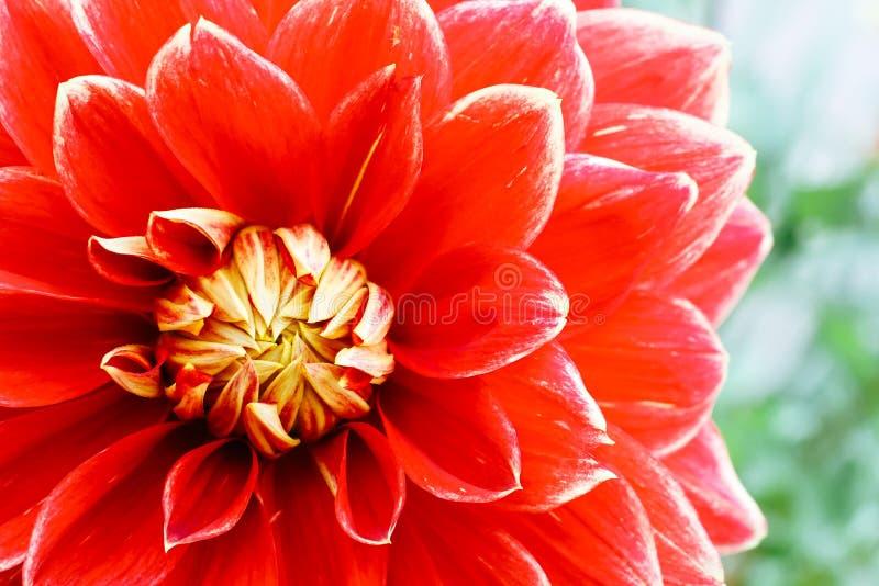 红色与绿色的橙黄色大丽花球鲜花细节宏观摄影出于焦点背景 库存图片