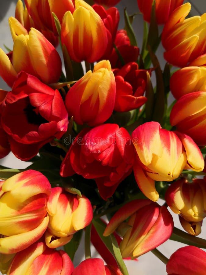 红色和黄色郁金香,宏指令大花束  免版税库存照片