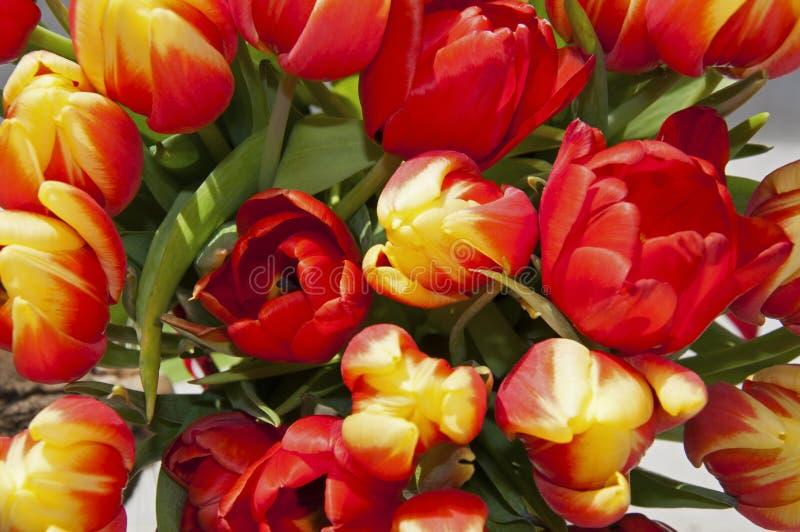 红色和黄色郁金香,绿色叶子,宏指令大花束  免版税库存照片