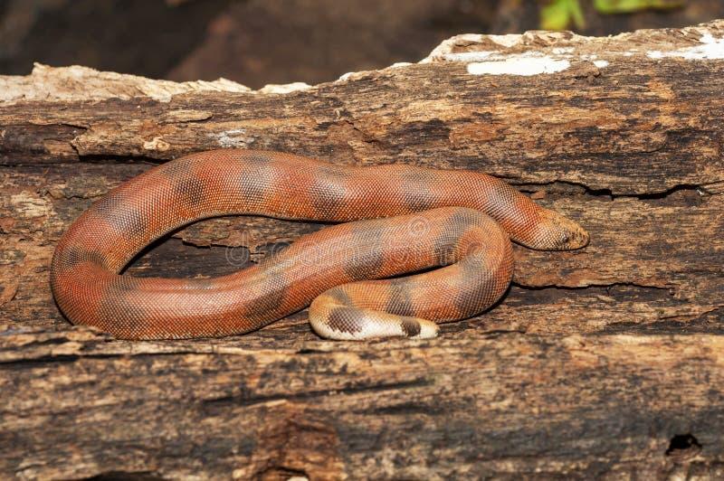 红色沙子蟒蛇,Eryx johnii,大乡绅,马哈拉施特拉,印度 图库摄影