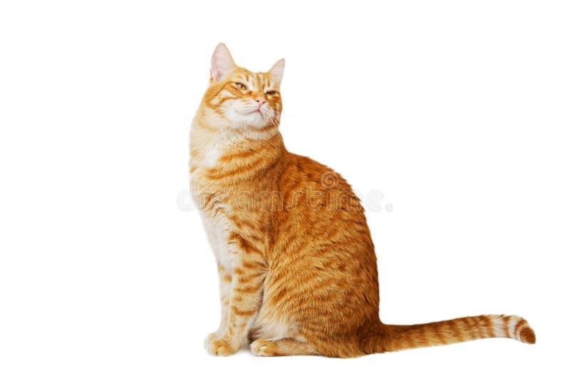 红色猫坐与骄傲的神色并且傲慢地看 免版税库存图片