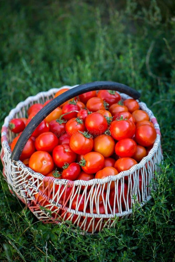 红色蕃茄一个大篮子  图库摄影