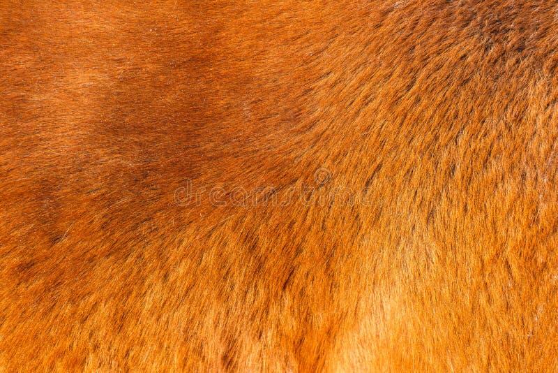 红色马的毛皮纹理在阳光下 免版税库存图片