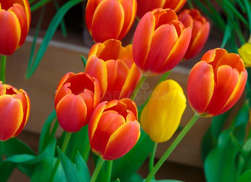 红色黄色郁金香有美好的花束背景 春天自然领域 庭院新鲜的植物 免版税库存照片