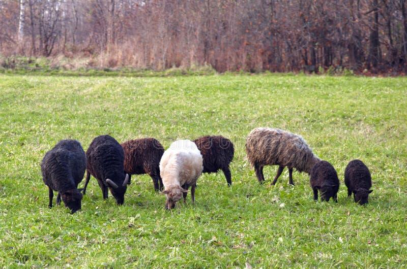 绵羊群在牧场地 库存图片