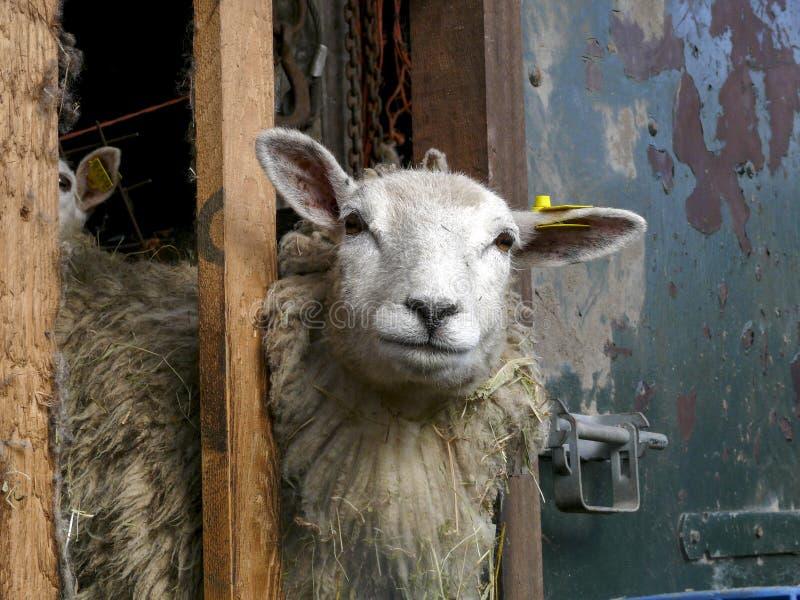 绵羊通过槽枥的架子看,偷看,有一束的在她的羊毛的秸杆 库存照片