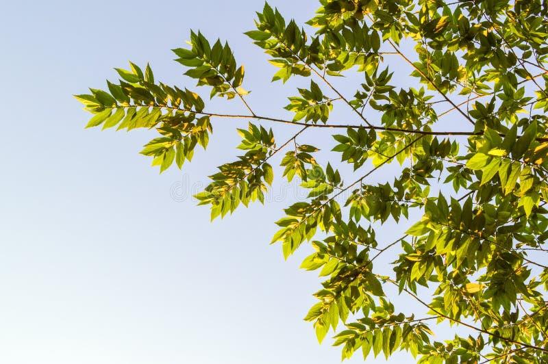 绿色大风子科rukam叶子在自然庭院里 免版税库存图片