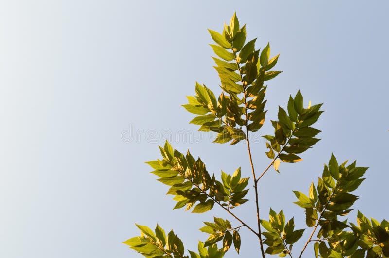 绿色大风子科rukam叶子在自然庭院里 库存图片