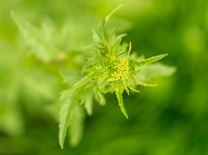 绿色多刺的草植物本质上 库存照片