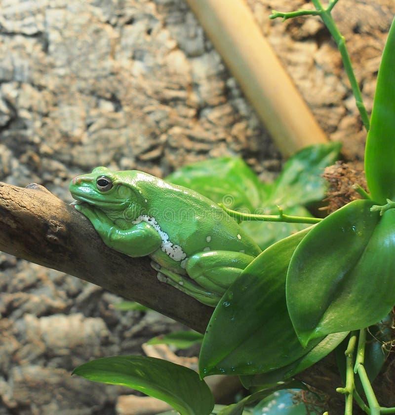 绿色巨型雨蛙坐分支 库存照片