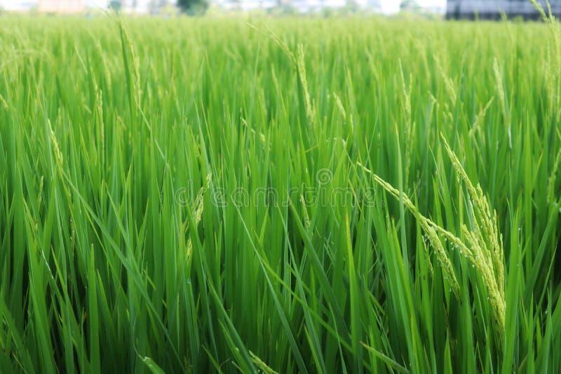 绿色米领域在米五谷和被弄脏的背景的焦点 免版税库存照片