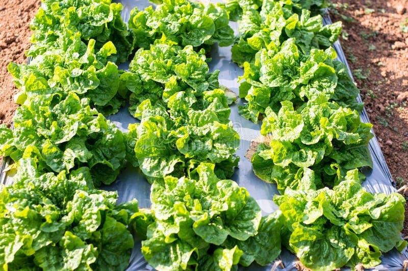 绿色菜沙拉、沙拉和红色沙拉 库存照片