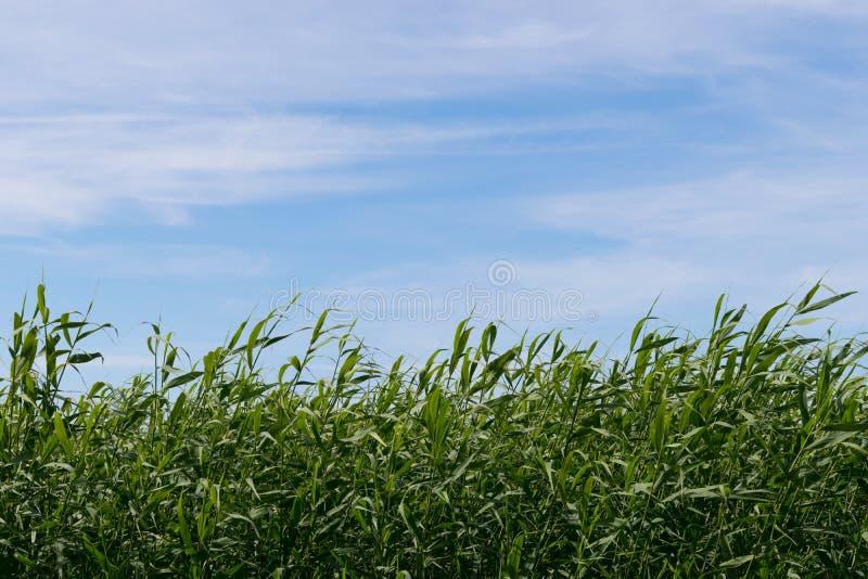 绿色芦苇和天空 图库摄影