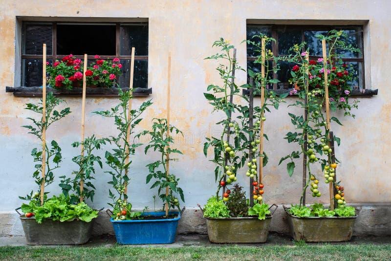 绿色蕃茄灌木在罐的在围场 有机蕃茄的耕种在家 健康的食物 免版税库存图片