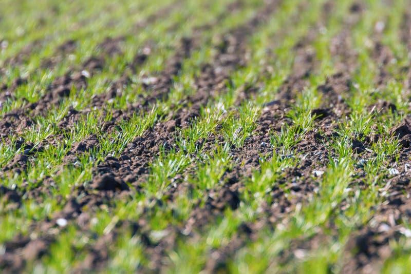 绿色领域用在日出绿色麦子的年轻麦子新芽,春天农业日出 免版税图库摄影