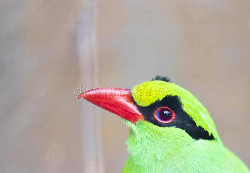 绿色鹊鸟顶头关闭 库存图片