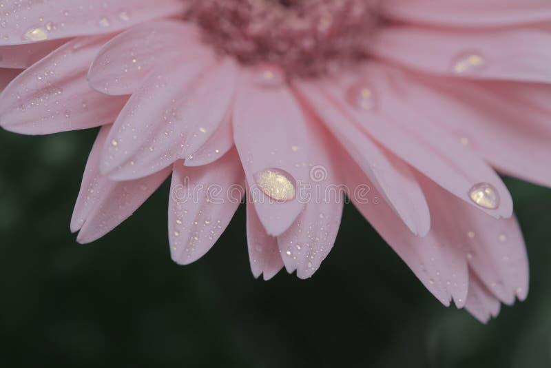 结束大丁草花桃红色与水下落的 在花的宏指令 免版税图库摄影
