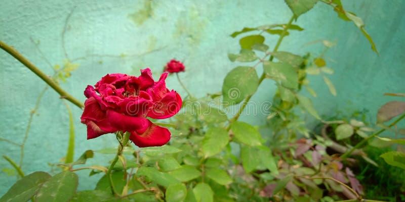 结束玫瑰生活  免版税图库摄影