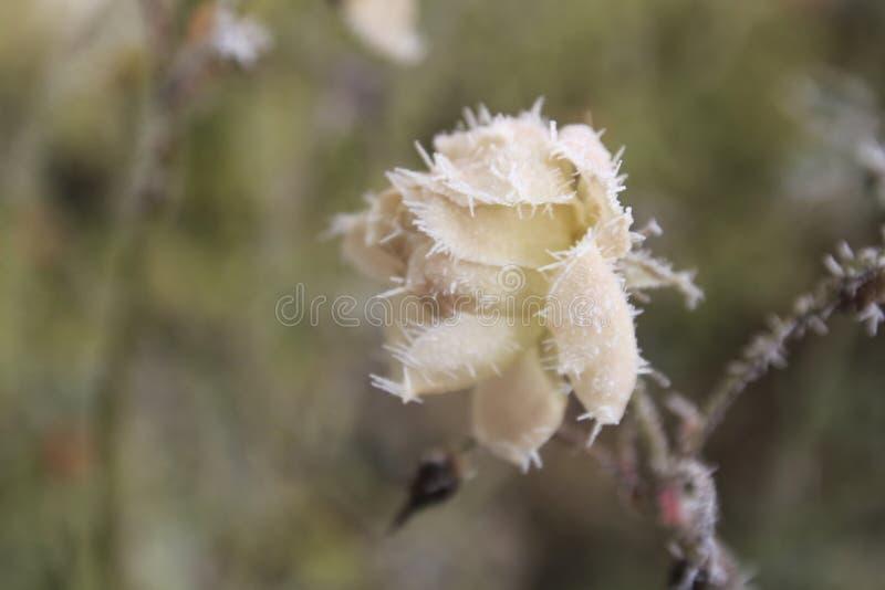 结霜的白色玫瑰在与冰晶的冬天 图库摄影