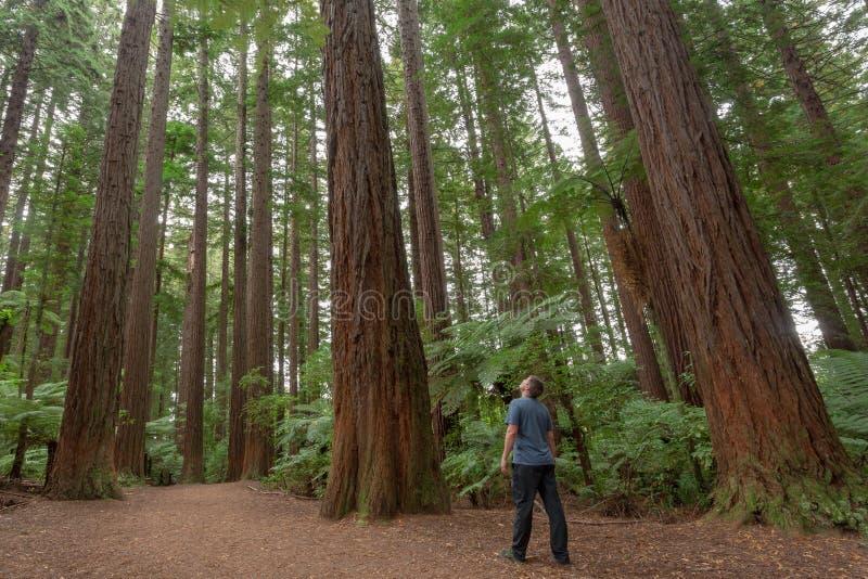 罗托路亚红木森林 免版税库存照片