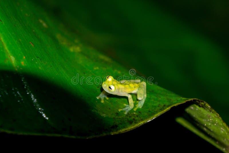 网状的玻璃青蛙 免版税库存照片