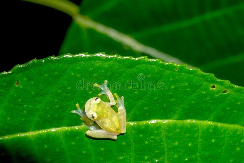 网状的玻璃青蛙- Hyalinobatrachium valerioi 库存图片