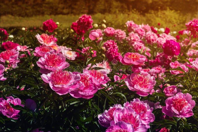 美丽和迷人的牡丹在一个温暖的夏日在公园,有从太阳的温暖的光芒的 背景细部图花卉向量 库存图片