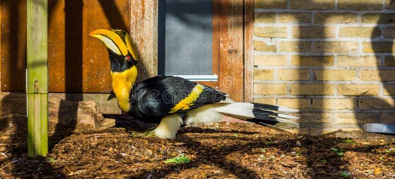 美丽的伟大的印度犀鸟,从亚洲,被威胁的动物硬币的大热带鸟以脆弱的状态 库存照片