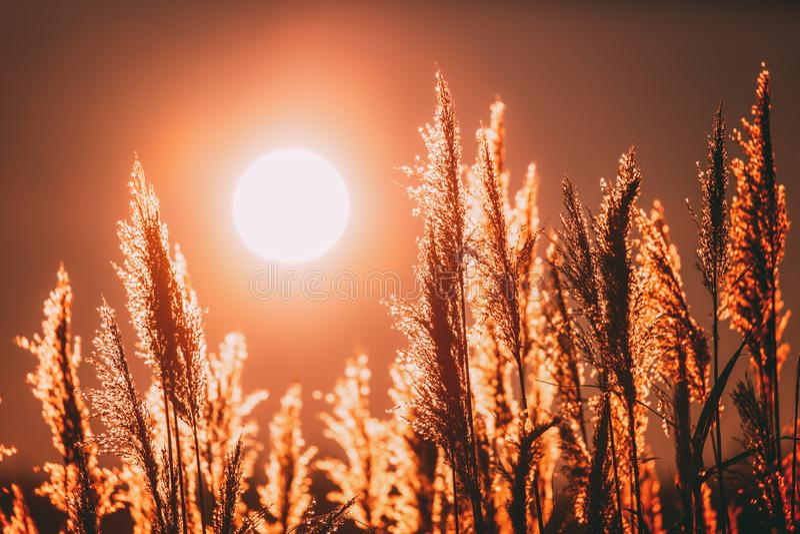 美丽的干草在日落阳光下 升起在野生植物上的太阳 在日出的自然 免版税库存照片