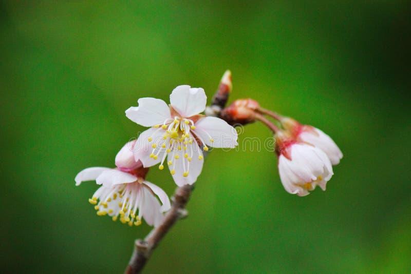 美丽的微型白花 库存照片