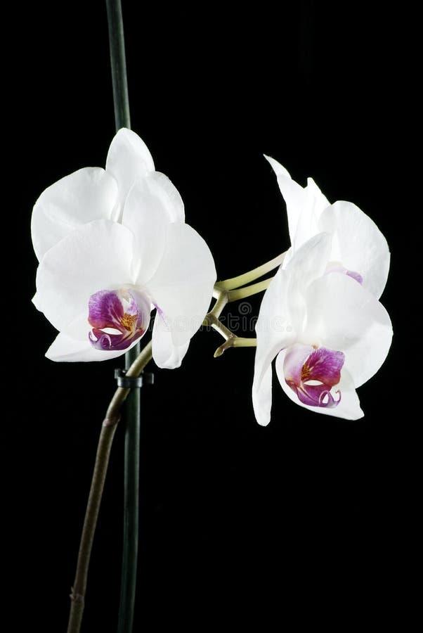 美丽的兰花在黑暗的背景,花被突出开了花,兰花开了花,兰科,绿色,黑,桃红色,紫色, 免版税库存图片